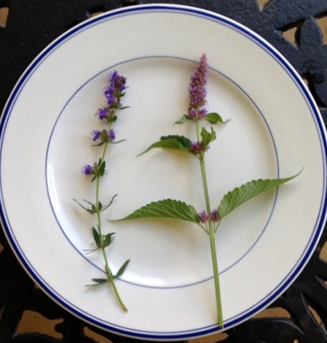 The Art of Eating Magazine Herbs of the Mint Family | The