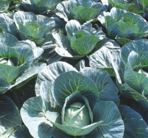 The Art of Eating Magazine Ways of Fermenting Cabbage | The Art of